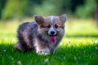 Red dog welsh corgi pembroke  puppy running in the green grass - image