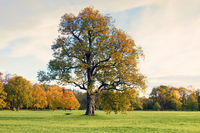 English Park with a lonely old oak