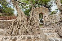 tangle of massive roots, Ethiopia