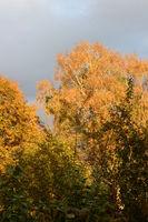 Baum mit herbstlicher Blattfärbung