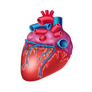 Anatomical human heart icon with vessels and aorta