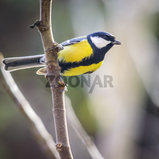 Great tit on a perch