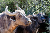 Buffaloes standing and showing their teeth and tongue