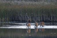 Rothirsch und Rottiere durchqueren einen Teich