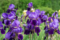 Flower blue irises