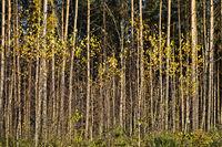 golden birch foliage