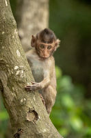 Baby long-tailed macaque faces camera on tree