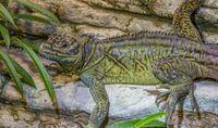 philippinian sailfin lizard