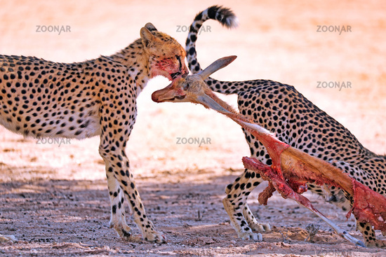 Geparde fressen Springbock, Kgalagadi-Transfrontier-Nationalpark, Südafrika, (Acinonyx jubatus) | Cheetahs eating a springbok, Kgalagadi Transfrontier National Park, South Africa, (Acinonyx jubatus)