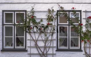 Die Rosen vor den Fenstern