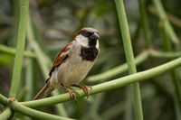 Male house sparrow on branch facing right