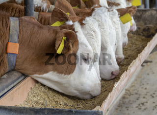 some cattle in a stable