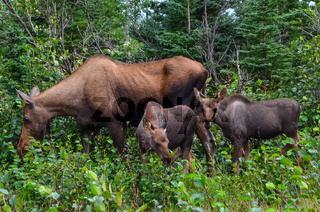 Closeup photo of a cow moose with two baby calves eating grass in Denali National Park and Preserve, Alaska, United States