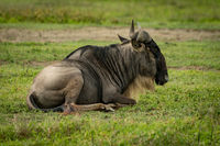 White-bearded wildebeest lying in grassland facing right