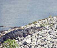 Young alligator basking near lake
