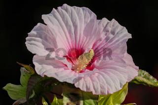 Sumpfeibisch (Hibiscus moscheutos)