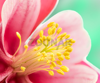 Anther of blossom from Aquilegia flower