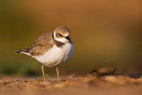 Young little ringed plover standing on a ground with copy space.