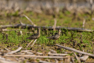 The short-billed dowitcher