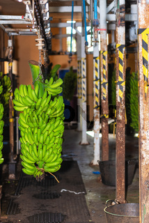 Bunches of banana hanging in Banana packaging plant. Food industry.