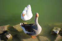 A geese couple in a green pond