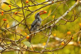 Grey hornbill, Ocyceros birostris, Dandeli, Karnataka, India