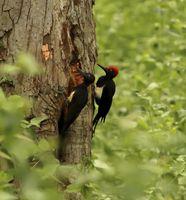 White bellied woodpecker, Dryocopus javensis, Nagarhole National park, Karnataka, India