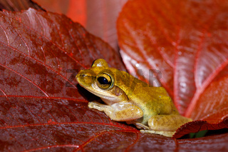 Beautiful small frog Boophis Madagascar Wildlife