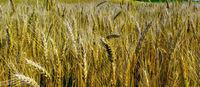 Wheat crop field Background Beautiful Nature