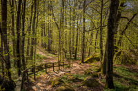 Path trough the beech forest in Larvik, Norway. Fagus sylvatica