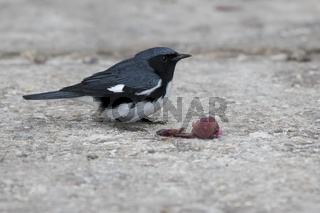 black-throated blue warbler that sits on a path in the forest near the berries that she eats