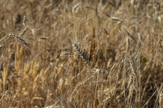 Golden wheat spikes ready for harvest growing in a field
