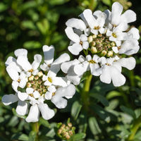 Evergreen Candytuft, Iberis sempervirens