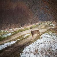 Reh am Waldweg im Winter
