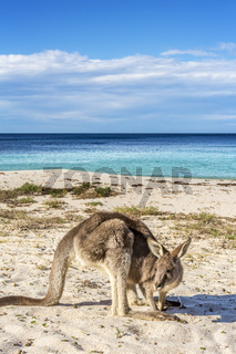 Native wildlife, the kangaroos on the beach in Australia