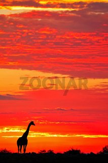 Giraffe im Sonnenaufgang, Etosha-Nationalpark, Namibia, (Giraffa camelopardalis) | Giraffe in the sunrise, Etosha National Park, Namibia, (Giraffa camelopardalis)