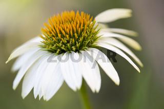 Weißer Sonnenhut (Echinacea) im Garten