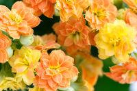 Yellow orange kalanchoe