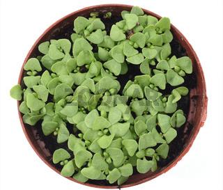 Basilikum, Ocimum, basilicum, Anzucht