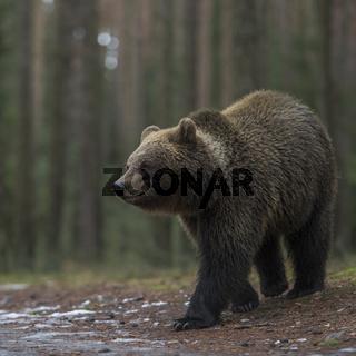 zum Abend hin... Europäischer Braunbär *Ursus arctos*