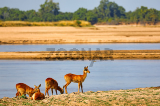 Pukus am Luangwa-Ufer, South Luangwa Nationalpark, Sambia, (Kobus vardonii) |  Pukus at Luangwa River, South Luangwa National Park, Zambia, (Kobus vardonii)