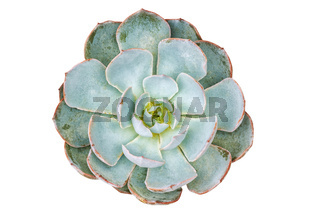 Top view of succulent pot plant isolated on white background