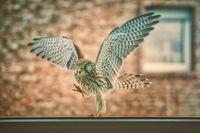 Falke spaziert
