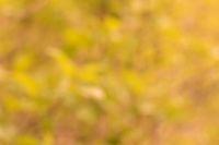 Natural golden bokeh background. Defocuset backdrop with green plants.
