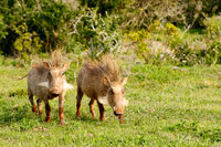 Warthogs standing with their punk hairstyles