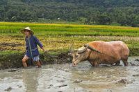 Junger Männer führt einen Wasserbüffel beim Pflügen in einem Reisfeld, Luang Prabang, Laos