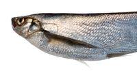 Silver fish on black background. Sabrefish