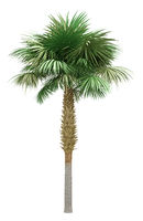 sabal palm tree isolated on white background