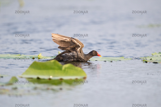 common moorhen on lake