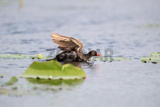 common moorhen on lake